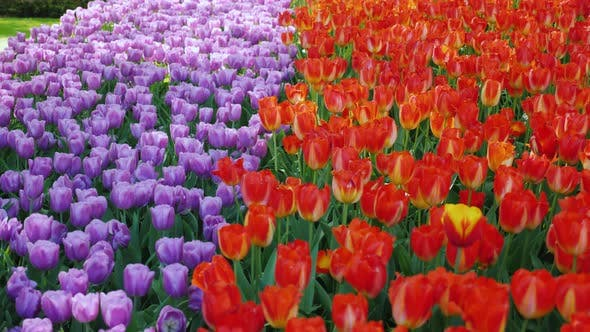Thumbnail for A Row of Purple and Red Tulips. Keukenhof Park in the Netherlands
