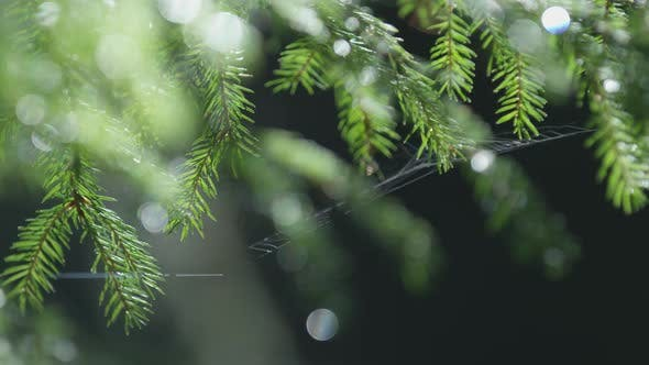 Thumbnail for Spiderweb on fir tree needles