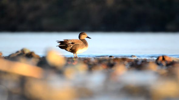 Thumbnail for Natural Wild Animal Gadwall Duck