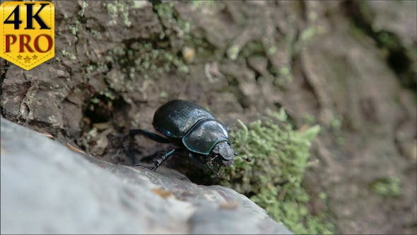 Thumbnail for Blue Greenish Shiny Dung Beetle Trying to Curl Up