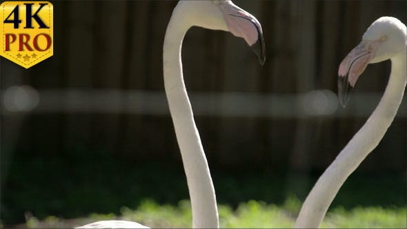 Thumbnail for The Long Neck and Big Beak of the Flamingoes