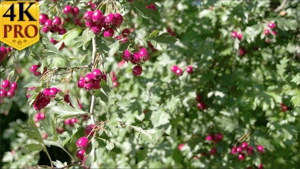 Thumbnail for Lots of Crataegus Fruits Bloomed on the Spring