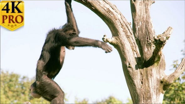 Troglodytes or Chimpanzee is Going Down from