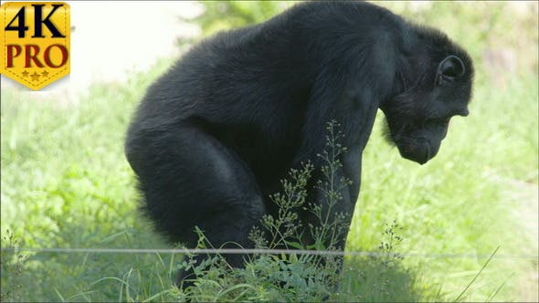 Black Chimpanzee Standing and Sitting on the Grass