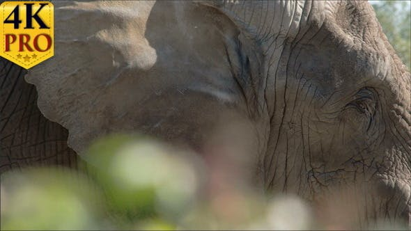 Thumbnail for An African Bush Elephant