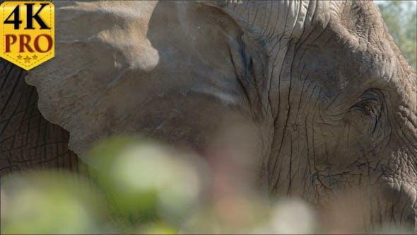 An African Bush Elephant