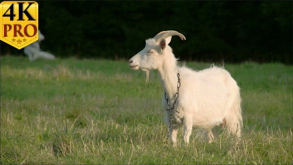 Thumbnail for A White Goat With a Chain on its Neck
