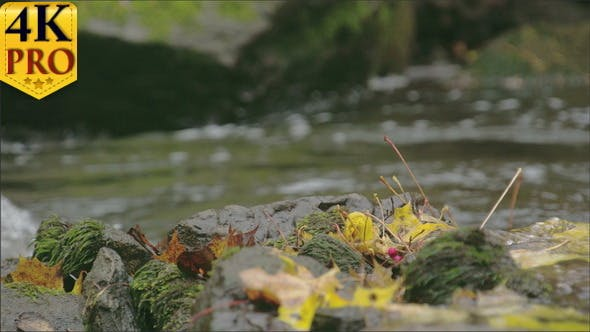 Thumbnail for Look of the Maple Leaves and the River