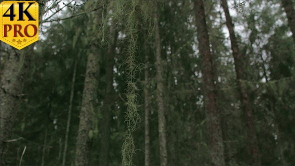 Thumbnail for Lots of Spruce Trees Around with Beard Lichen