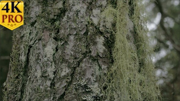 Thumbnail for Closer Look of the Beard Lichen Attached on the