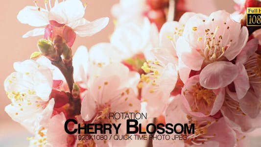 Cover Image for Beautiful Cherry Blossom 6