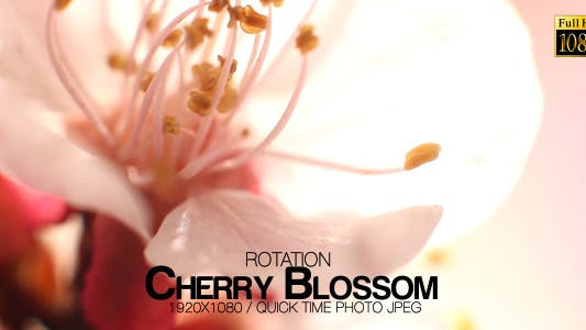 Thumbnail for Beautiful Cherry Blossom 8