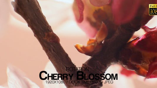 Thumbnail for Beautiful Cherry Blossom 10