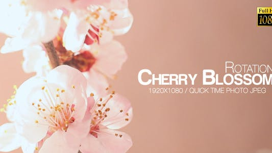 Thumbnail for Beautiful Cherry Blossom Loop