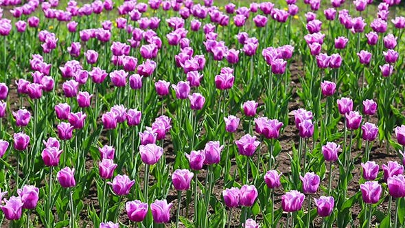 Thumbnail for Purple With White Border Tulips