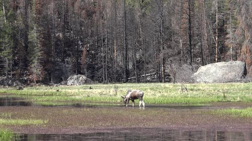 Moose Bull Immature Lone Eating Feeding Spring Wetland Pond in Rocky Mountain National Park Colorado