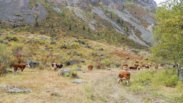 Thumbnail for Cows on Pasture in Mountains