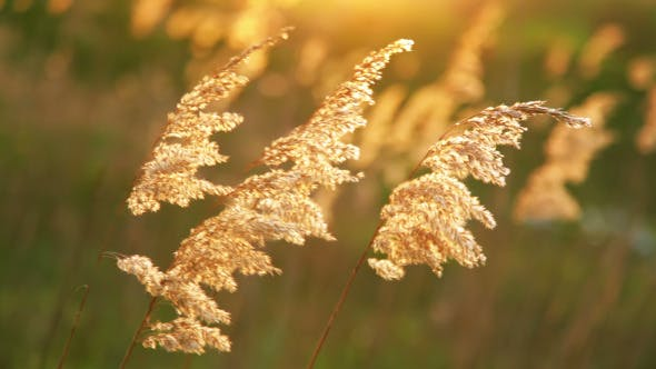 Thumbnail for Dry Reeds in the Wind