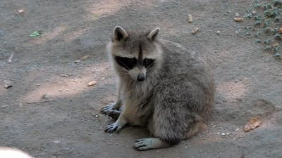 Raccoon Sitting on Ground at Open Zoo