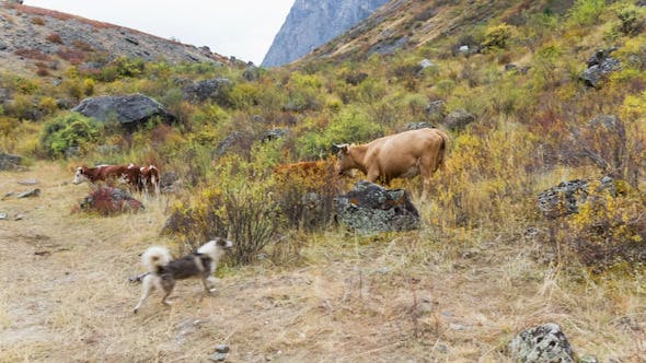 Thumbnail for Cow and Dog on Pasture
