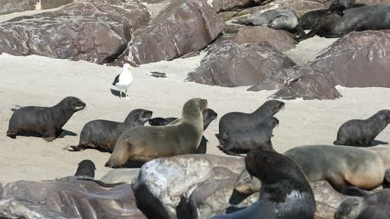 Thumbnail for colony of brown seal in Cape Cross, Namibia