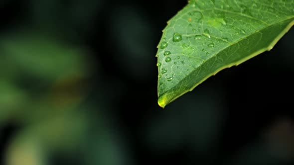 Thumbnail for Slow Motion Video of Water Drops on Green Leaf on Bokeh Background