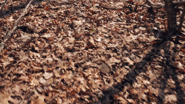 Thumbnail for Walking over Leaves in the Forest