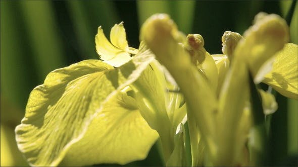 Thumbnail for A Petal of the Yellow Iris Flower Waving
