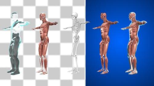 Männliche Muskulatur 1