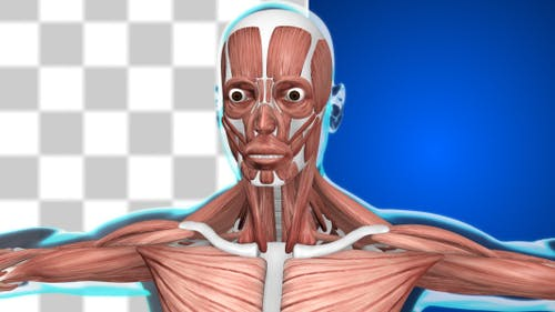 Male Muscular System 2