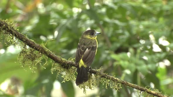 Thumbnail for Lemon-rumped Tanager Female Songbird Perched and Flying in Jungle