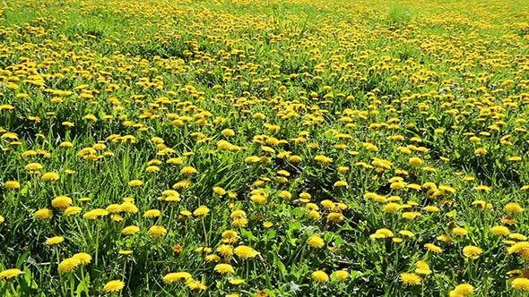 Thumbnail for Yellow Dandelion Field