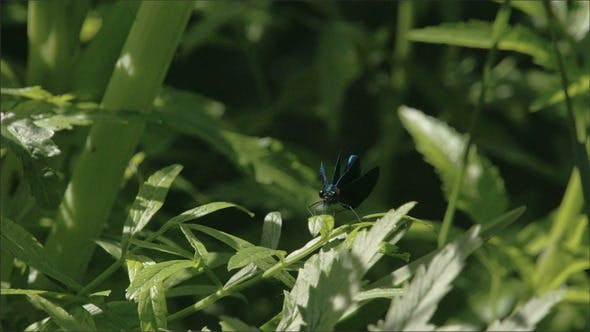 Thumbnail for A Blue Dragonfly Spreading Its Wings
