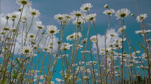 The Tall Stalks of the Daisies