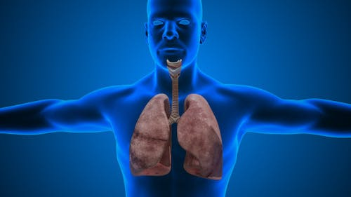 Lungs Male Anatomy