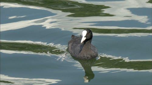 Ein schwarz Blässe schweben auf dem See