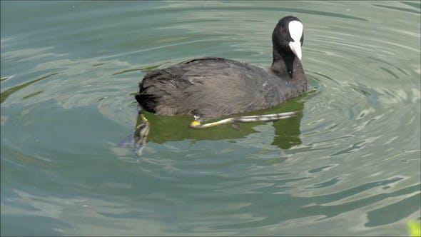 Ein schwarzer Blässe auf dem Wasser schauen um