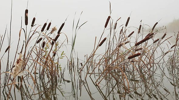 Thumbnail for Stems Of Reeds Reflected In Water