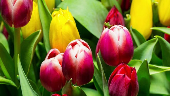 Thumbnail for Bouquet of Bright Tulips Blooms