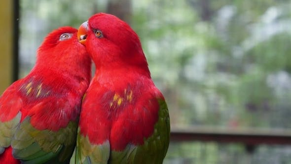 Thumbnail for Two Beautiful Colorful Parrots Clean Each Other In