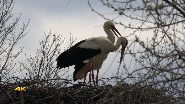 Thumbnail for White Stork Nest 1