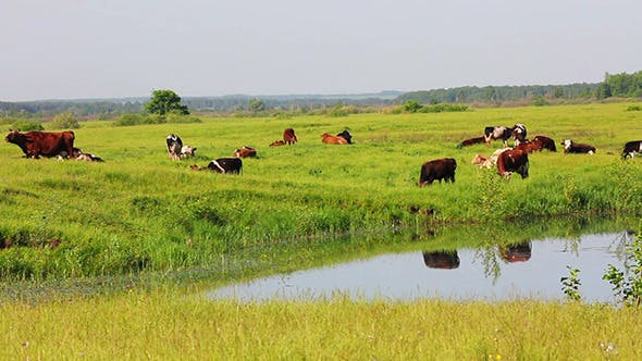 Thumbnail for Herd Of Cows On Pasture Near Lake