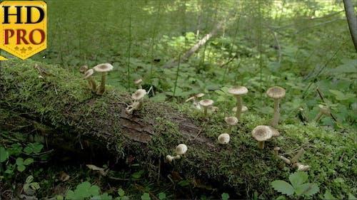 Viele weiße Pilze knallen aus dem alten