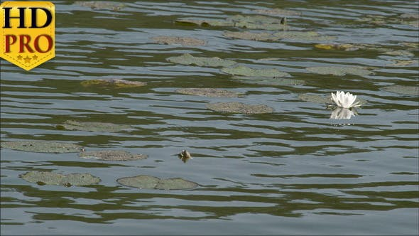 Thumbnail for Water Lilies are Floating on the Pond