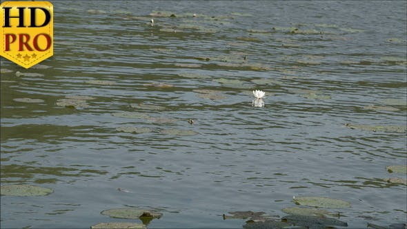 Lots of Water Lilies Floating on the Big Pond