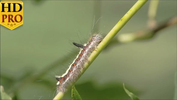 Thumbnail for A Hairy Caterpillar on the Stem