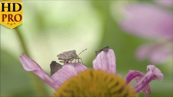 A Heteroptera Bug Crawling on the Petal
