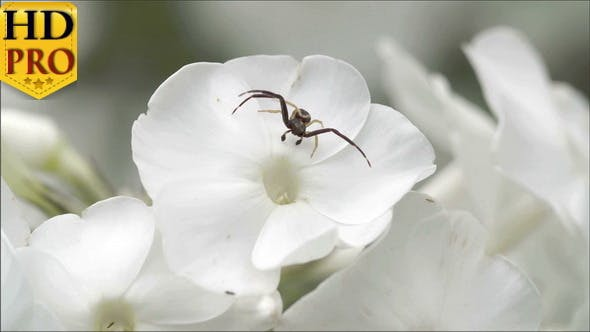 Thumbnail for A Black Crab Spider on the Flower
