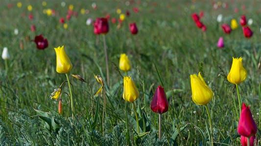Thumbnail for Wild Tulips
