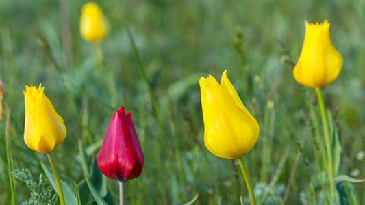 Thumbnail for Wild Tulips 2